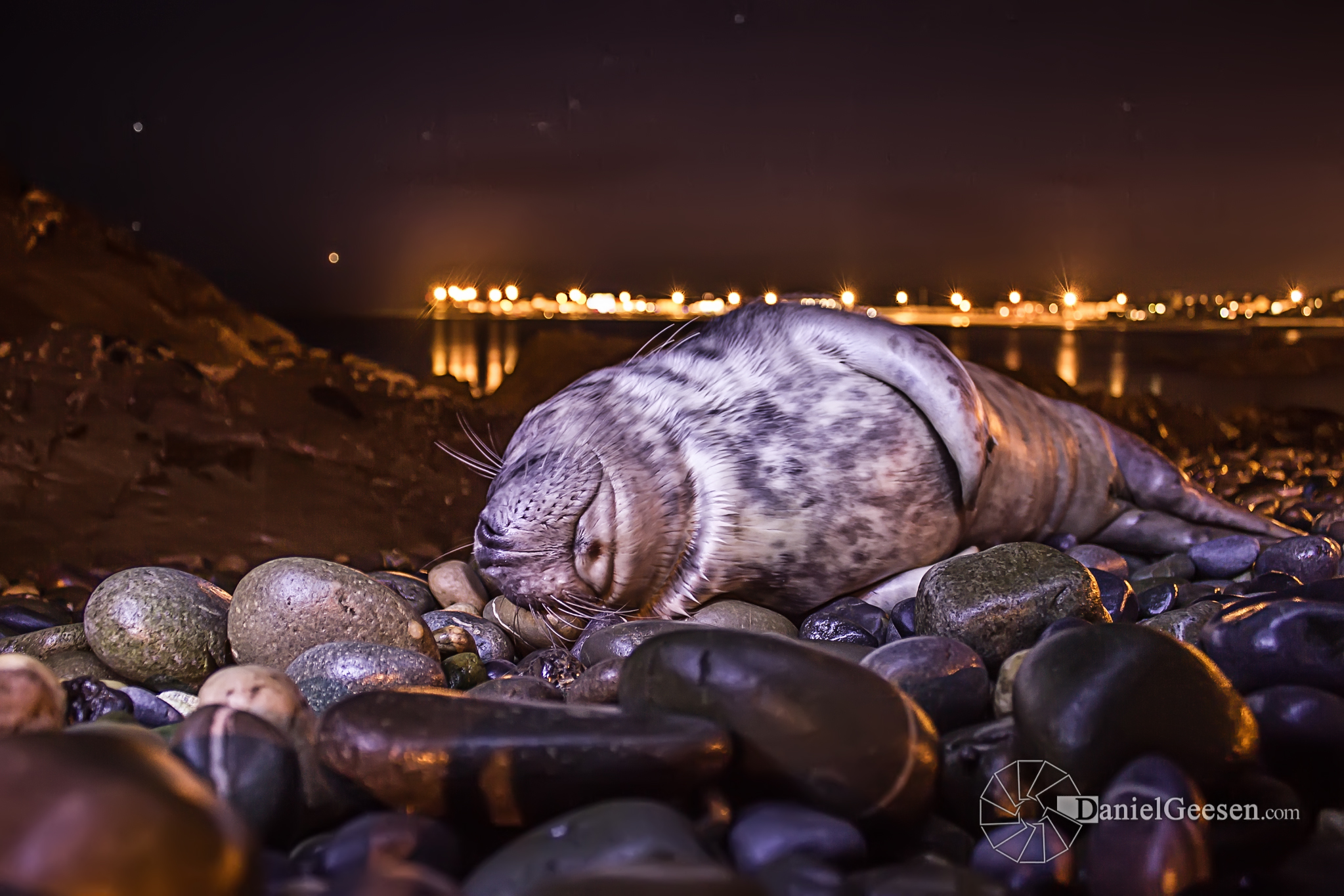 a sleeping baby seal in skerries